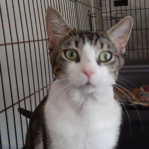 Dempster - Domestic Short Hair Cat