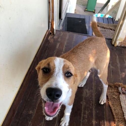 Archie - Irish Wolfhound Dog
