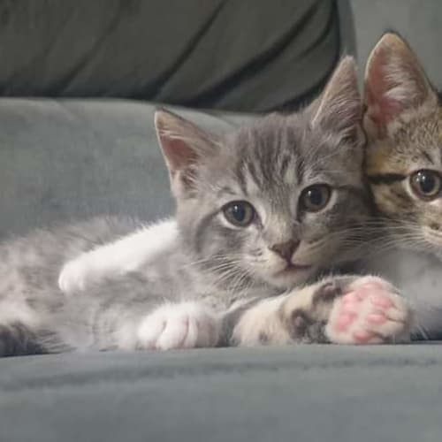 Lucy and Lola - Domestic Short Hair Cat