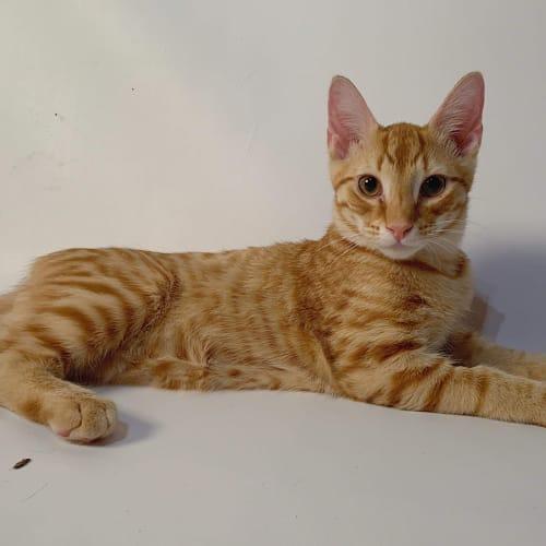 Icarus  - Domestic Short Hair Cat