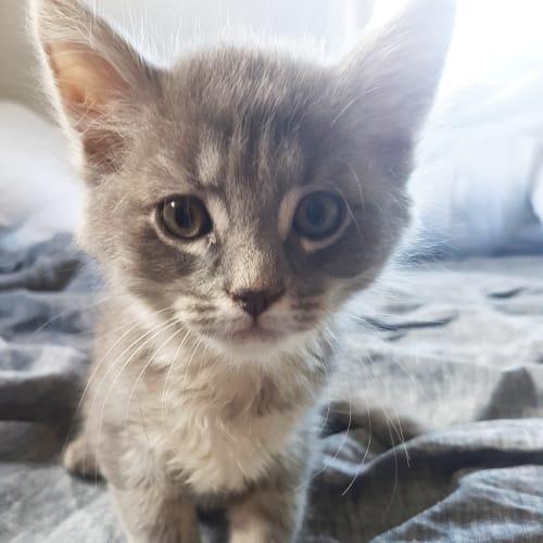 Carlos - Domestic Medium Hair Cat