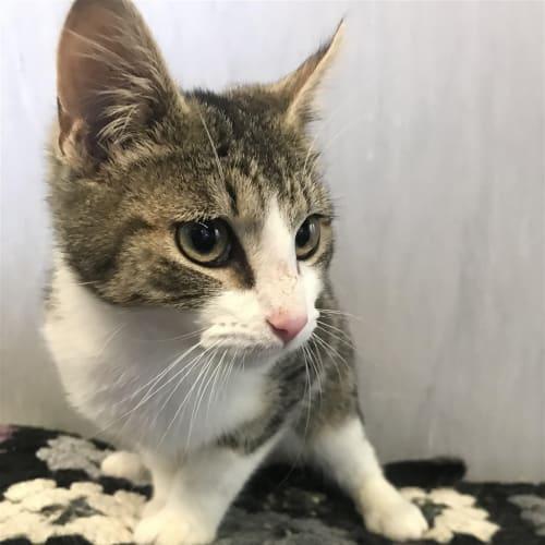 Jameson - Domestic Short Hair Cat