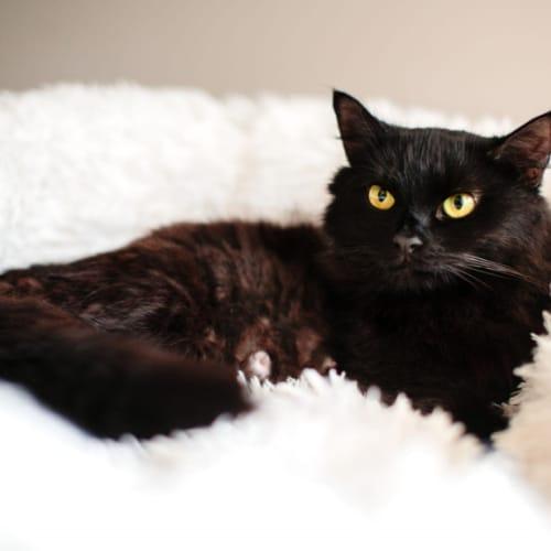 1475 - Kristal - Domestic Long Hair Cat