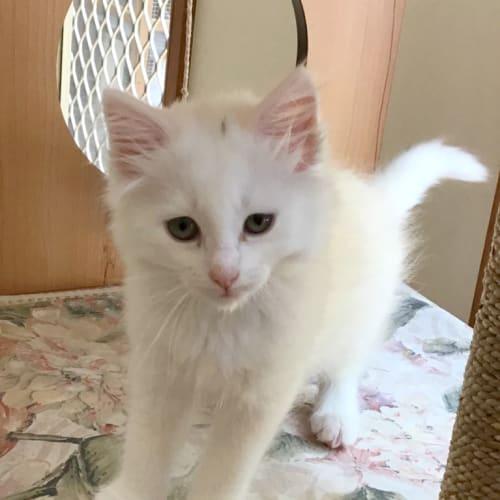 Ashwany - Domestic Medium Hair Cat