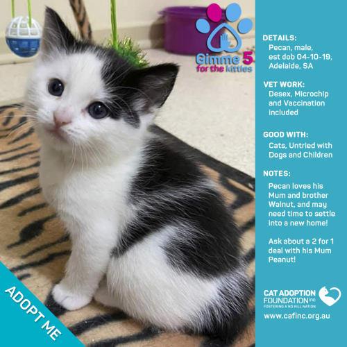 Pecan - Domestic Short Hair Cat