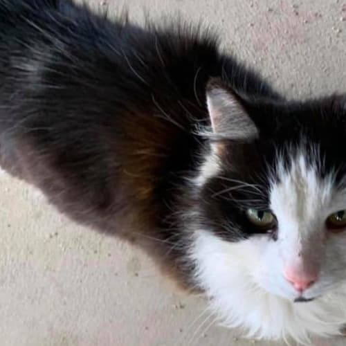 Sylvester - Domestic Long Hair Cat