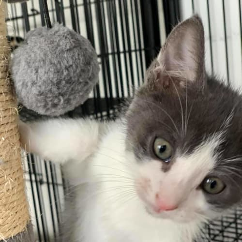 Raphael - Domestic Short Hair Cat