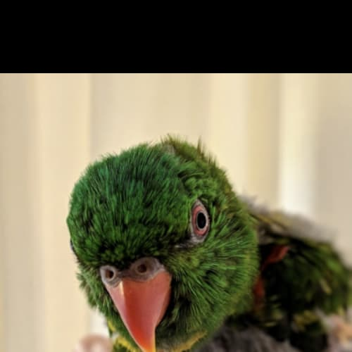 Chickpea -  Bird