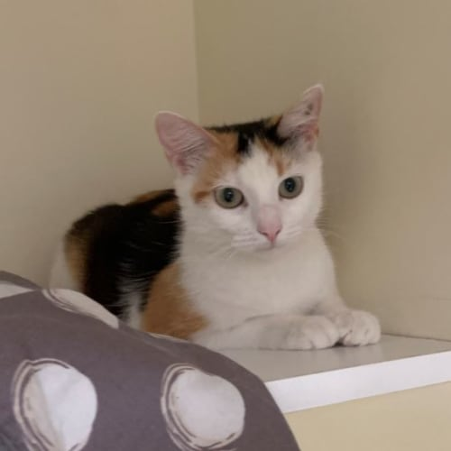 Beryl - Domestic Short Hair Cat