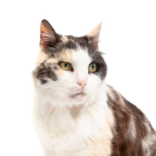Susan - Domestic Long Hair Cat
