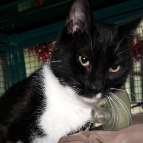 Cozmo - Domestic Short Hair Cat