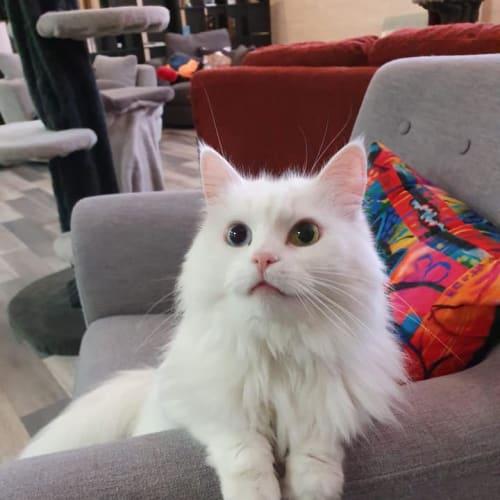 Gemma - Meet me at Neko HQ in Preston - Domestic Long Hair Cat