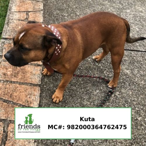 Kuta - Staffordshire Bull Terrier Dog
