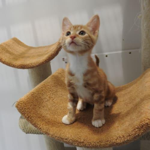 Ginge - Domestic Short Hair Cat