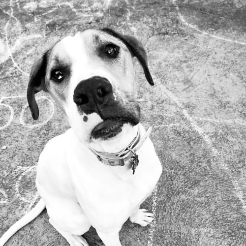 Sadie  - Bull Arab Dog