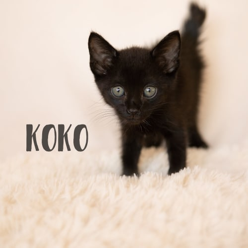 Koko - Domestic Short Hair Cat