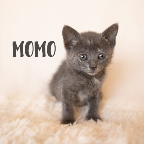 Momo - Domestic Short Hair Cat