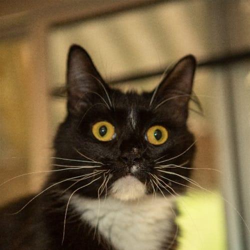 Kitana - Domestic Medium Hair Cat