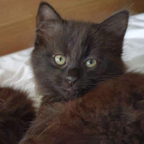 Persephone  - Domestic Short Hair Cat