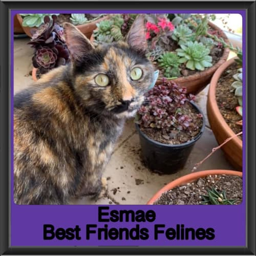 Esmae  - Domestic Short Hair Cat
