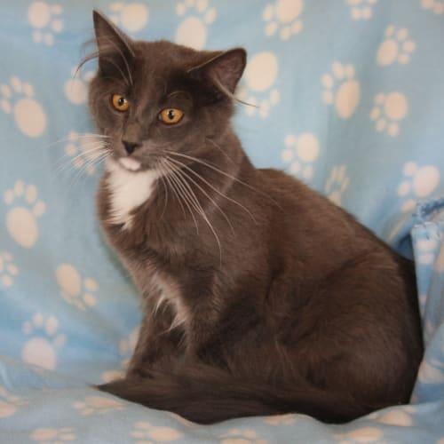 Ollie - Snowshoe Cat