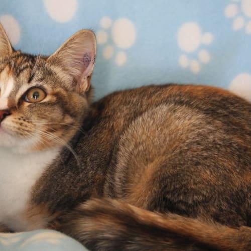 Auska - Snowshoe Cat