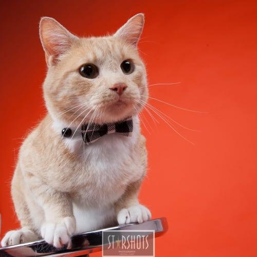 Oscar - Domestic Short Hair Cat