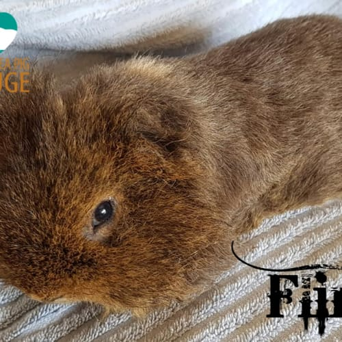 Flint (indoor home only) - Texel Guinea Pig