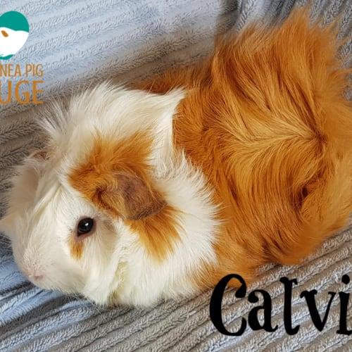 Calvin - Abyssinian Guinea Pig