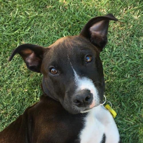 Puppy Toby DL2307 - Staffy Dog