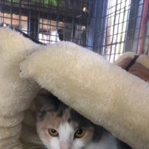 Isabella - Domestic Short Hair Cat