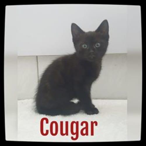 Cougar - Domestic Short Hair Cat