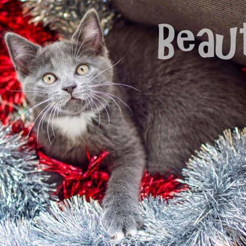 Beauty - Domestic Medium Hair Cat