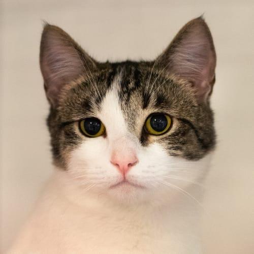 Four Of Ten (96475) - Domestic Short Hair Cat