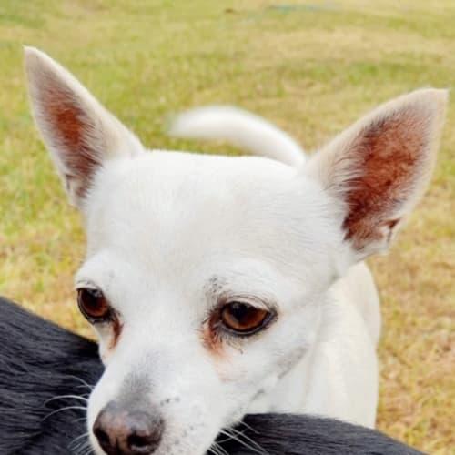 Seppi - Chihuahua Dog