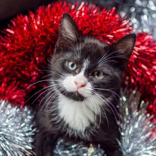 Buzz - Domestic Medium Hair Cat