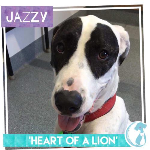 Jazzy - Bull Arab Dog