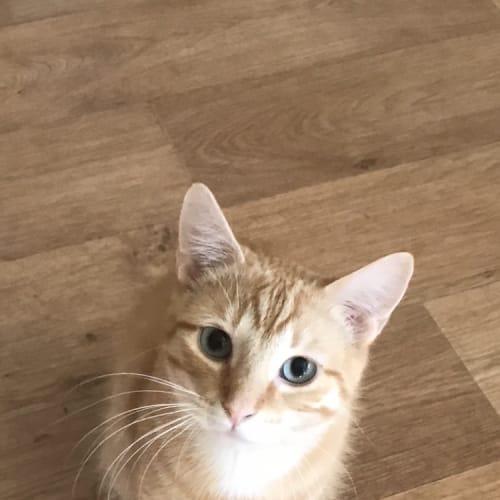 Julius  - Domestic Short Hair Cat