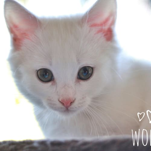 Wolfie - Domestic Short Hair Cat