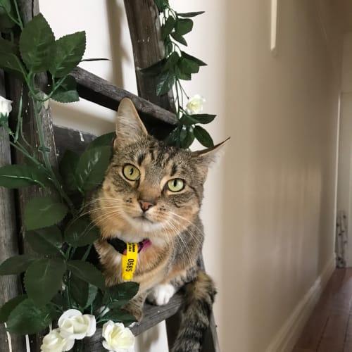 Sylvie - Domestic Short Hair Cat