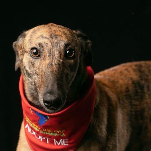 Deidre - Greyhound Dog