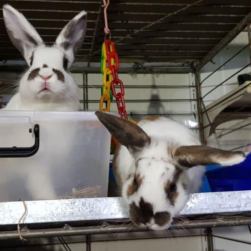 Ben & Jerry - Domestic Rabbit