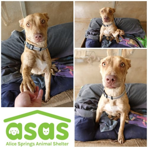 Indy  DG19-533 - Mixed Breed x Staffordshire Bull Terrier Dog