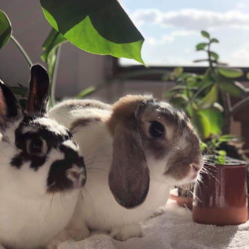 Bugsy & Sage (Bonded Pair) 🥕🥕 - Mini Rex x Lop Eared x Netherland Dwarf Rabbit