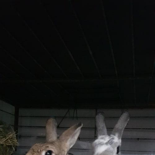 Luca & Bella - Domestic Rabbit