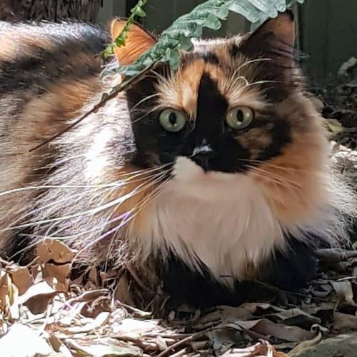 Kira - Domestic Medium Hair Cat