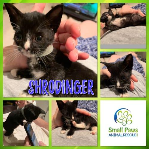 Shrodinger  - Domestic Short Hair Cat