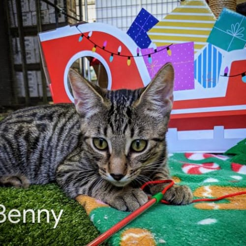 Benny - Domestic Short Hair Cat