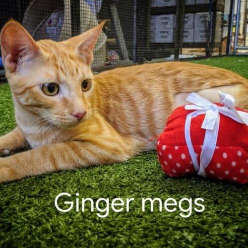 Ginger Megs - Domestic Short Hair Cat