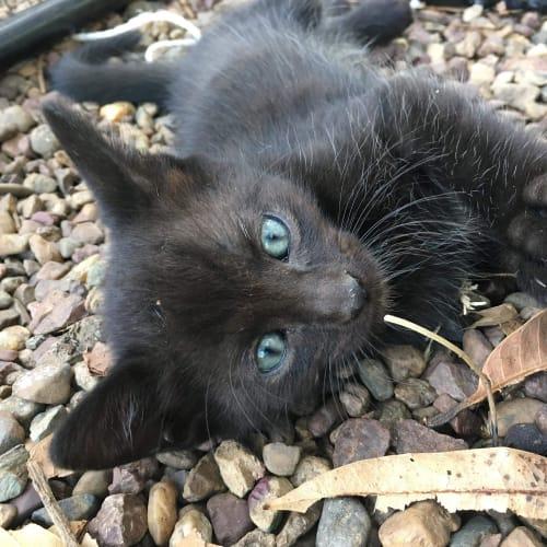 Johnny - Domestic Short Hair Cat
